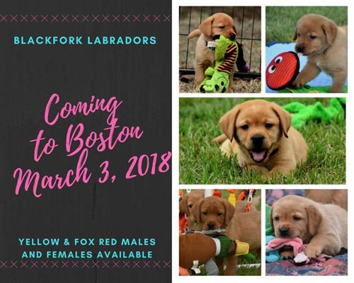 Fox Red Labradors puppies for sure English Fox Red Puppies, Fox Red Labrador Retrievers Fox Red Lab Puppies Puppy pennsylvania connecticut massachusetts new jersey new hampshire rhode island