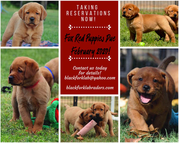 Fox Red Labradors Breeders Puppies Labs