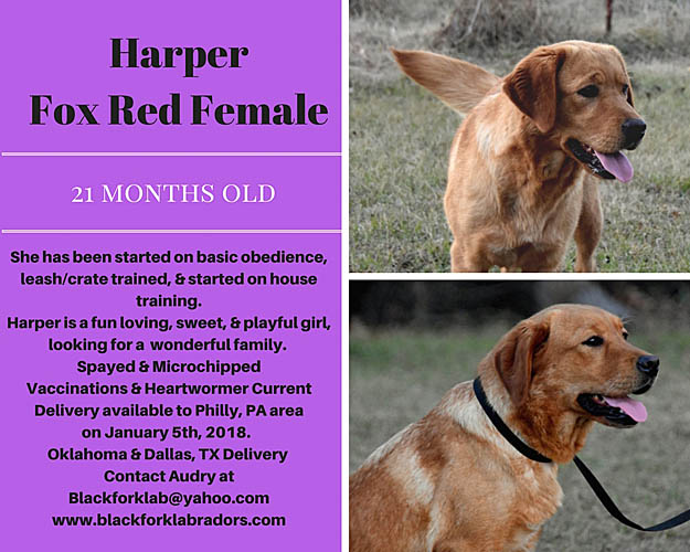 fox red labradors, fox red lab adults for sale, fox red lab puppies for sale, ma, new jersey, new hampshire, nh, pennsylvania,