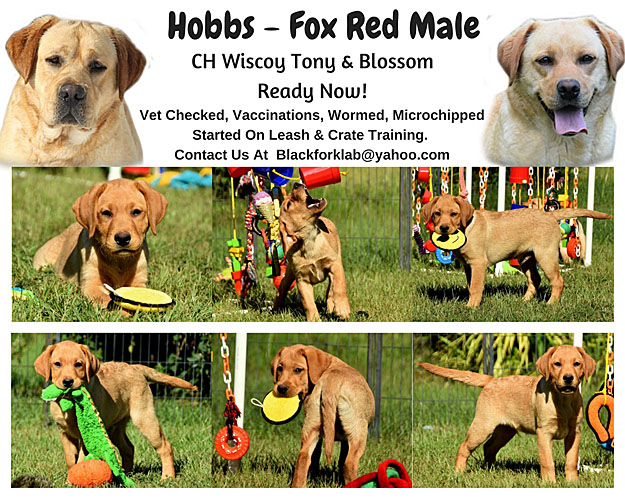 fox red lab puppies for sale, fox red labrador puppies, fox red labrador retrievers, lab puppies for sale, New Hampshire